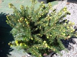 Smrek Obyčajný Pumila Nigra Picea Abies 20 30 Cm Kont 3l